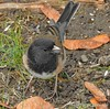 Dark Eyed Junco (jimgspokane) Tags: darkeyedjunco birds wildlife washingtonstate spokanewashingtonstate wonderworld excapture