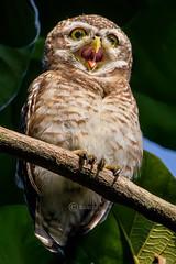 spotted owlet (athene brama) (nature_photos_by_soumya) Tags: spottedowlet athenebrama bird kolkata westbengal