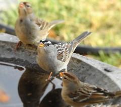 Drinkin' (pjknitter16) Tags: chipping sparrows