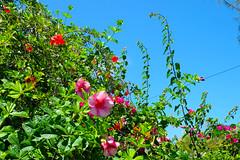 near Kailua Beach (when I'm on vacation) Tags: kailua beach flowers plants trees green nature hawaii oahu honolulu usa