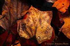Still life - leaf life (Gianni Armano) Tags: still life leaf foto gianni armano photo flickr 10 novembre 2016