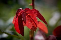 du rouge et des ombres (rondoudou87) Tags: feuille leaf red rouge ombre shadow automne autumnleaves autumn couleur color pentax k1 nature natur jardin garden