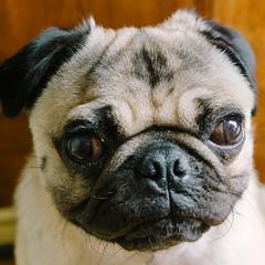Heitu-00068 (kiddfei2012) Tags: pug dog pet puppy