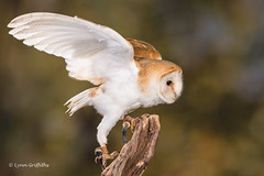 Barn Owl - I'm outta here! D75_5886.jpg (Mobile Lynn) Tags: owls birds barnowl nature captive bird fauna strigiformes tytoalba wildlife nocturnal ringwood england unitedkingdom gb