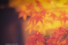 Japanese Maples  6 (frattonparker) Tags: raw lightroom6 btonner frattonparker japanesemaple acer autumn fall dof isleofwight nikond600 nikkor50mmf18