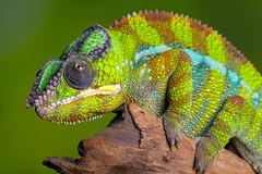 Panther Chameleon, CaptiveLight, Bournemouth, Dorset, UK (rmk2112rmk) Tags: pantherchameleon captivelight bournemouth dorset uk furciferpardalis chameleon reptile lizard macro bokeh