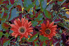 Show off! (maginoz1) Tags: abstract art manipulate contemporary flora spring november 2016 bulla melbourne victoria australia canon gx3 g16
