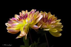 Dahlia Pair 1005 Copyrighted (Tjerger) Tags: nature beautiful beauty black blackbackground bloom closeup duo fall flora floral flower green leaves macro pair petals pink plant portrait purple stems two whtie wisconsin yellow dahlia natural
