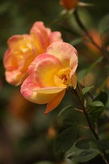 Bloom (swong95765) Tags: rose pretty beauty bloom colorful bokeh flower bush plant