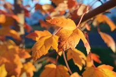 SAM_1856 (falcon170ct) Tags: autumn fall leaves redoak