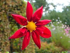 Like a red star... (libra1054) Tags: dahlia dalia dahlien red rojo rosso rot rouge vermelho stern star estrella estrela êtoile stella blumen flores fiori flowers fleurs flora nature natur natura closeup outdoor