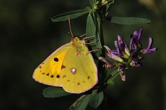 Colias hyale (Hugo von Schreck) Tags: hugovonschreck butterfly coliashyale falter outdoor macro makro insect insekt canoneos5dmarkiii schmetterling tamronspaf180mmf35dildifmacro11