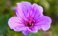 croix rouge (christophe.laigle) Tags: fleur macro pluie xf60mm fuji drops xpro2 flower geranium ngc npc
