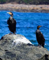 Great cormorants (elphweb) Tags: fhdr falsehdr seaside australia nsw bird birds greatcormorant cormorant shag ulladulla