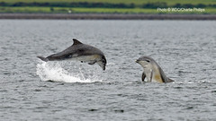 _1DX9414 (Charlie S Phillips) Tags: sea marine dolphin conservation wdc charlie dolphins whale moray firth bottlenose tursiops truncatus
