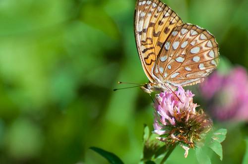 Fritillary  3 RedRock _2015_08_01_16-54-07_DSC_4381_©LindsayBerger2015