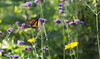 Say, Yes. (Lala Lands) Tags: dof bokeh goldenhour storypeople monarchbutterfly brianandreas danausplexippus verbenabonariensis tomsgarden justsayyes purpletopvervain summereveninglight nikond300s nikkor28300mmf35 themonarchshavefinallyarrived