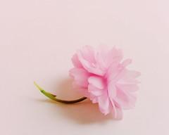 Pink flower (y.naganova) Tags: cameraphone pink flower color beauty spring mobilephone app tenderness apps mobileart mobilephotography ynaganova yulianaganova
