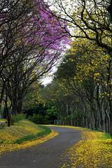 Chapecó - SC (fabsciack) Tags: road flowers trees brazil flores tree primavera nature brasil spring natureza estrada ipê rua santacatarina árvore springtime árvores chapecó ipês