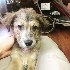 Freshly showered new member of the gang. Savannah the Australian Shepard. Gonna take lots of training and I'll be carrying her for a while, but once she's in form she'll make a great protector. #theworldwalk #puppy #twwphotos