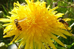 Episyrphus balteatus - Gemeine Parkschwebfliege , NGIDn452812593 (naturgucker.de) Tags: episyrphusbalteatus naturguckerde cjrgengehnen ngidn452812593 nsgnordspitzeamrum