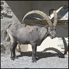 Bouquetin mle. (wilphid) Tags: montagne animaux chamonix parc montblanc sauvage hautesavoie faune leshouches parcdemerlet