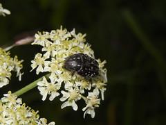 Bladsprietkever (Oxythyrea funesta) (Frank Berbers) Tags: insect beetle frankrijk kfer kever coleoptera scarabbeetle ardche scarabaeidae blatthornkfer bladsprietkever