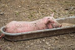 Dans la mangeoire (Maxime Bonzi) Tags: alpes image photo animalier animals arvieux explorer france hautes montagne pet pets pics pig pigs queyras vallée cochon cochons