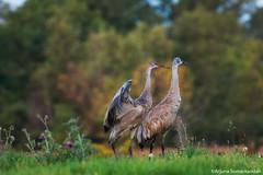 Sandhill  Crane -  Look Out Duty (digithief) Tags: ca cambridge ontario canada birds nikon sandhillcranes d800