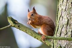 Red Squirrel 8 (Ian R T) Tags: aberdeenshire wildlife redsquirrel carniewoods