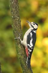 _DSC3529 Grote Bonte Specht : Pic epeiche : Picoides major : Buntspecht : Great Spotted Woodpecker