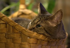 Cool Days, Warm Hearth (KsCattails) Tags: autumn pet macro fall home animal cat eyes lowlight nikon warm basket leo dream indoor domestic inside cosy d3100 kscattails