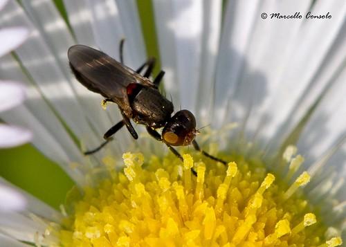 Saltella sphondylii (Schrank, 1803) ♀