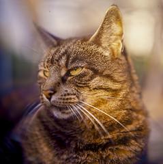 Cat Close-up (kenneth.pelczar) Tags: summer cats color 6x6 film analog outdoors kodak slide chrome mf pentacon kodake100vs ektachrome e100vs asa100