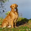 2015-11-08_Q8B4220 © Sylvain Collet.jpg (sylvain.collet) Tags: autumn dog chien france goldenretriever automne golden retriever sur marne vairessurmarne vaires