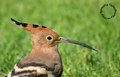 #hoopoe #bird #birds #portrait #uae #dubai #dubai_creek_park #creek_park #photography #myphoto  # # #__ #_ # # # # # # (alrayes1977) Tags: portrait bird birds photography dubai uae myphoto hoopoe    creekpark      dubaicreekpark