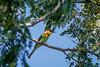 Chestnut-headed Bee-eater (Bay-headed Bee-eater) (arnewuensche66) Tags: birds wildlife vögel beeeater bienenfresser chestnutheadedbeeeater meropsleschenaulti braunkopfspint