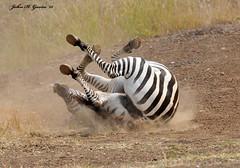JHG_9955-b Fun times in the dirt, Zebra does his stuff again. Nairobi National Park, Kenya. (GavinKenya) Tags: africa wild nature animal june john mammal photography gavin photographer kenya african wildlife july grand safari dk naturephotography kenyasafari africansafari 2015 safaris africanwildlife africasafari johngavin wildlifephotography kenyaafrica kenyawildlife dkgrandsafaris africa2015 safari2015 johnhgavin
