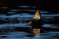 Morning duck (Adam Wang) Tags: light lake bird nature duck hoodedmerganser