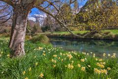 Avon River || HAGLEY PARK || CHRISTCHURCH (rhyspope) Tags: park new christchurch pope flower tree nature floral field canon river island spring south meadow sigma zealand nz daffodil 1020 avon rhys hagley 500d rhyspope