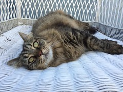 My kitty (alexkeywest) Tags: pet cats animal cat kitty keywest mycat mykitty funnycat