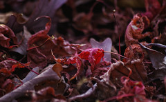 The end of the dance (Violet aka vbd) Tags: pentax k3 vbd smcpentaxda55300mmf458ed ct connecticut leaves fall newengland autumn fallcolor 2015 fall2015 japanesemaple red mauve pink explored fuchsia leaf foliage