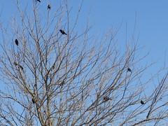 Red-winged Blackbirds - Texas by SpeedyJR (SpeedyJR) Tags: nature birds texas wildlife blackbirds nwr redwingedblackbird anahuacnationalwildliferefuge anahuacnwr nationalwildliferefuges chamberscountytexas speedyjr ©2015janicerodriguez