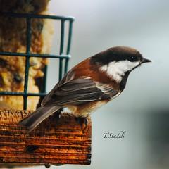Chestnut-backed Chickadee, Poecile rufescens (Tina Stadeli) Tags: birdfeeder chickadee chestnutbackedchickadee backyardbirds backyardbirding