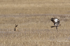 Red-tailed Hawk attacks Jackrabbit - Sequence - 7 of 8