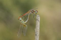 Fall love (Explore 18.10.2016) (jrosvic) Tags: dragonfly libellulidae odonata libelula entomology entomologa freehand nikond7100 nikon60mm28dmicro cartagena murcia spain anisoptera macro insecto liblula kenkopro300x14 fall autumn