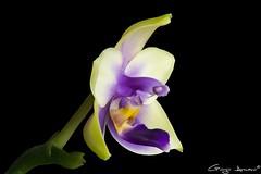 Phalaenopsis Bellina coerulea (Giorgio Armano) Tags: orchid orchidea orchids orchidee focus helicon nikon macro fiore flower fiori phalaenopsis bellina coerulea