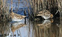 Snipe 231016 (5) (Richard Collier - Wildlife and Travel Photography) Tags: wildlife naturalhistory birds british rspb lodmoor rspblodmoor snipe