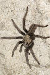 Tarantula (Aphonopelma) (pointnshoot) Tags: canonef100mmf28lmacroisusm canonmacroringlitemr14ex tarantula aphonopelma delvalleregionalpark