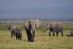 10076323 (wolfgangkaehler) Tags: 2016africa african eastafrica eastafrican kenya kenyan amboseli amboselikenya amboselinatlparkkenya amboselinationalpark wildlife mammal elephant africanelephant africanelephantloxodontaafricana herd babyanimal babyanimals babyelephant
